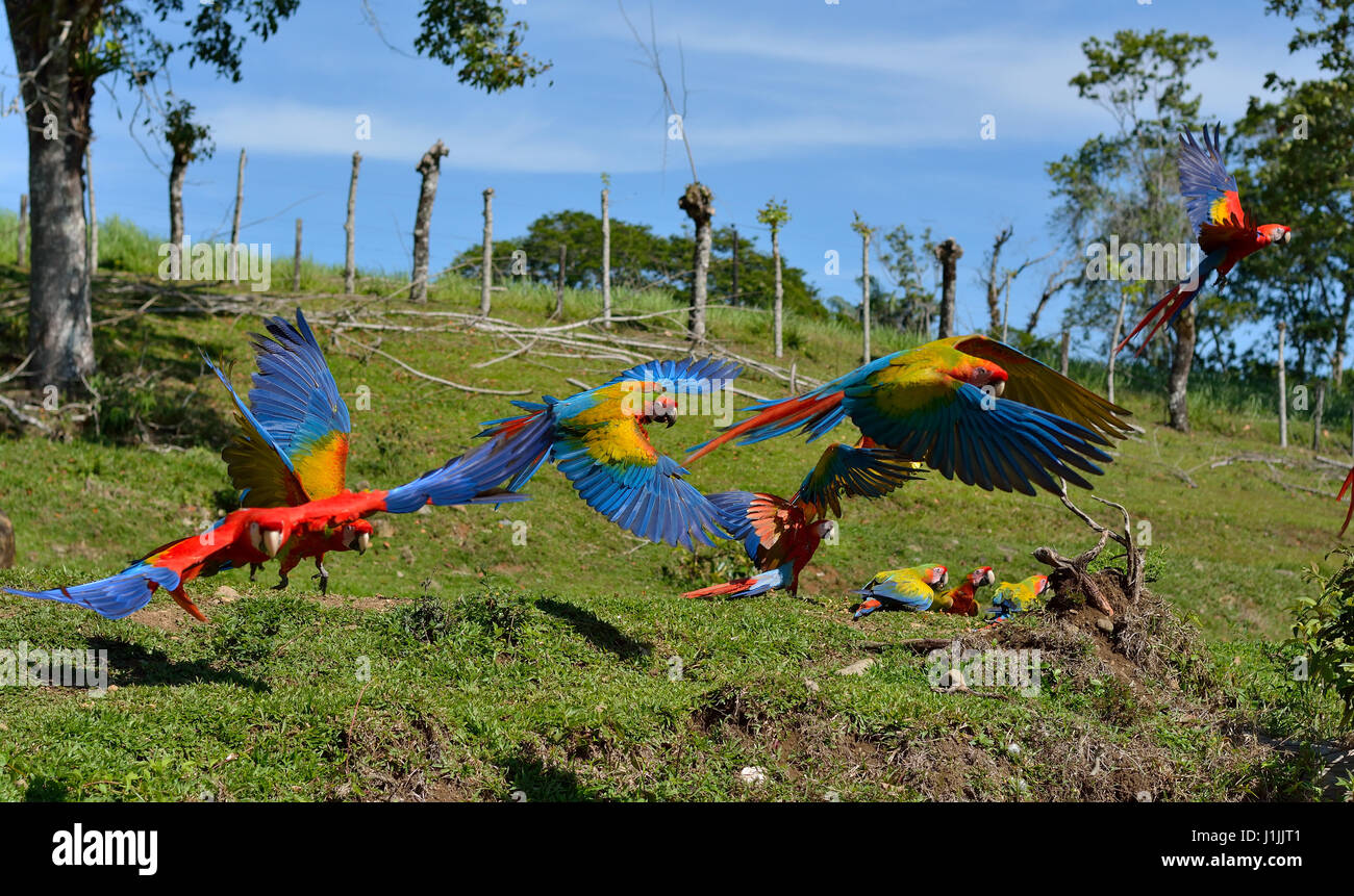 Scarlet Macaws in Corcovado National Park Costa Rica - Stock Image