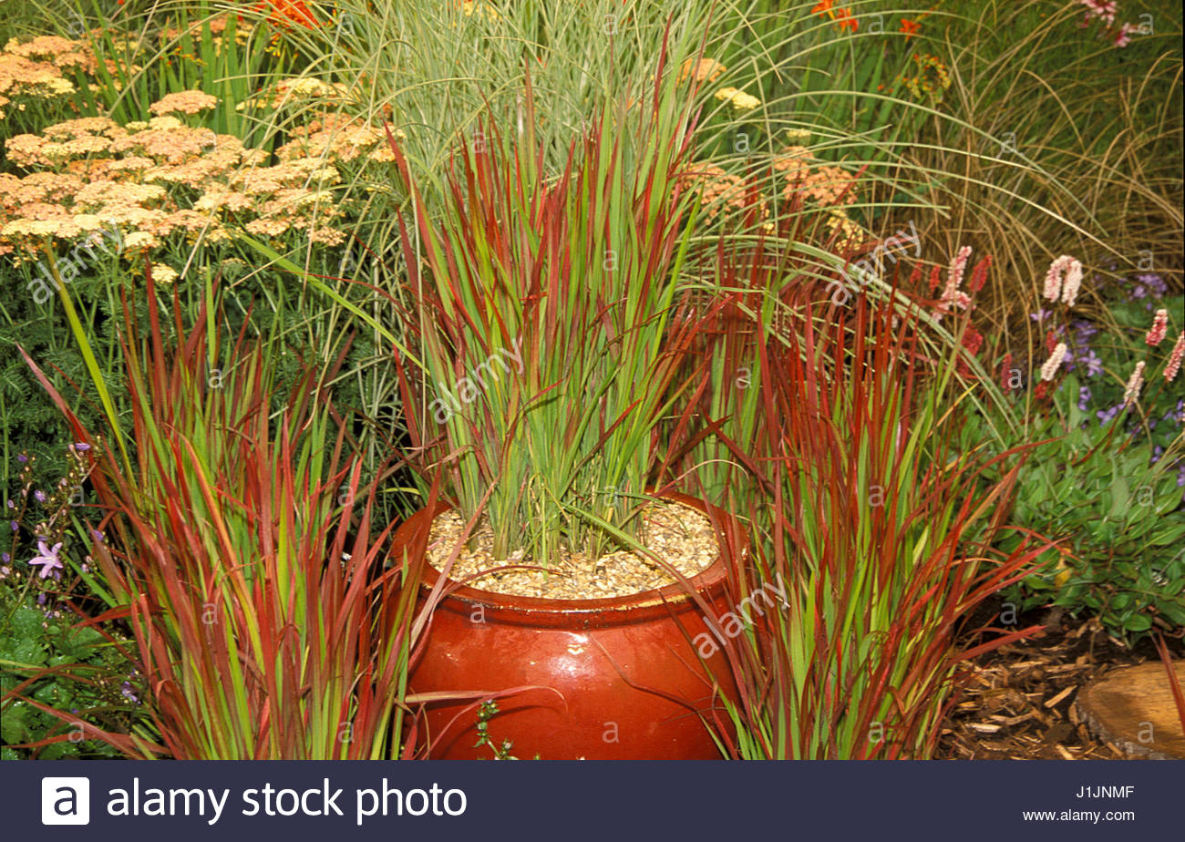 imperata cylindrica red baron grass poaceae container stock photo 138709775 alamy. Black Bedroom Furniture Sets. Home Design Ideas