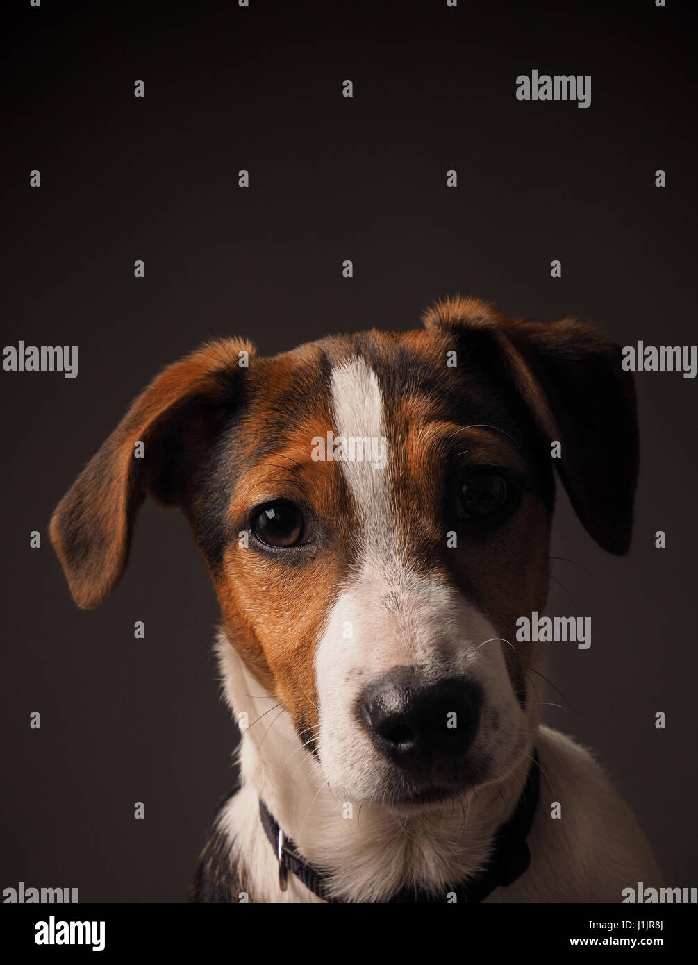 Studio portrait of a cute Jack Russell terrier puppy - Stock Image