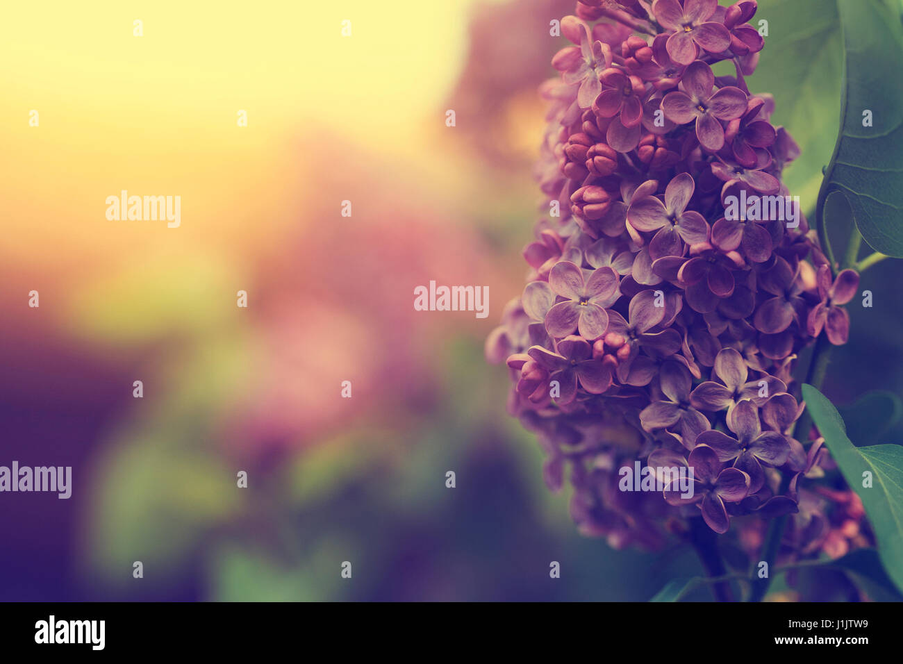 Lilac flower - Stock Image