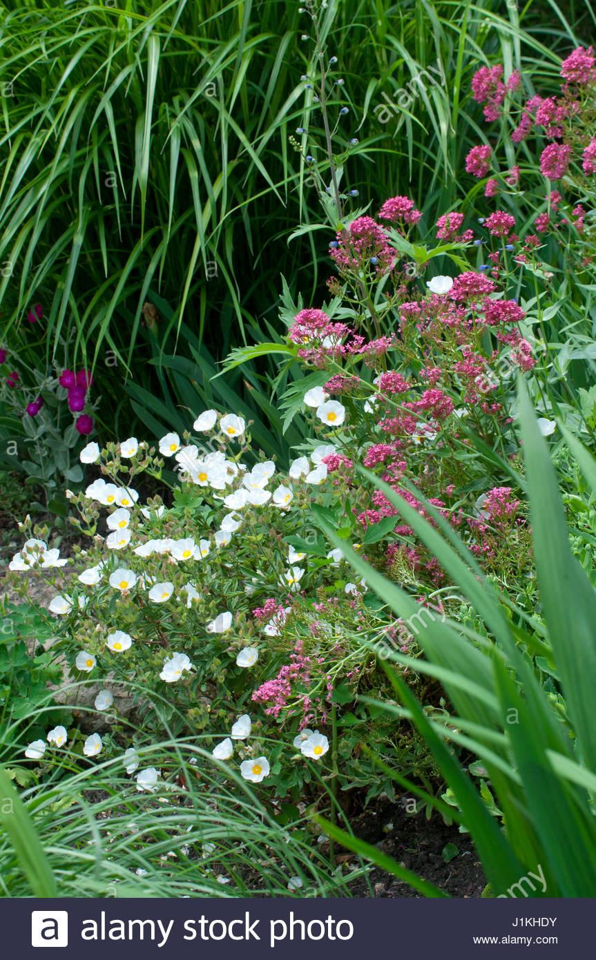 Centranthus ruber val riane rouge en fleur dans un for Jardin plantes vivaces