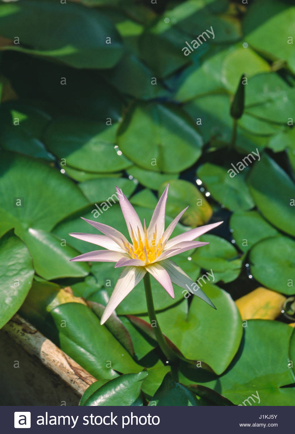 Nymphaea Stellata Lotus Flower Shapla National Symbol Of Sri Lanka