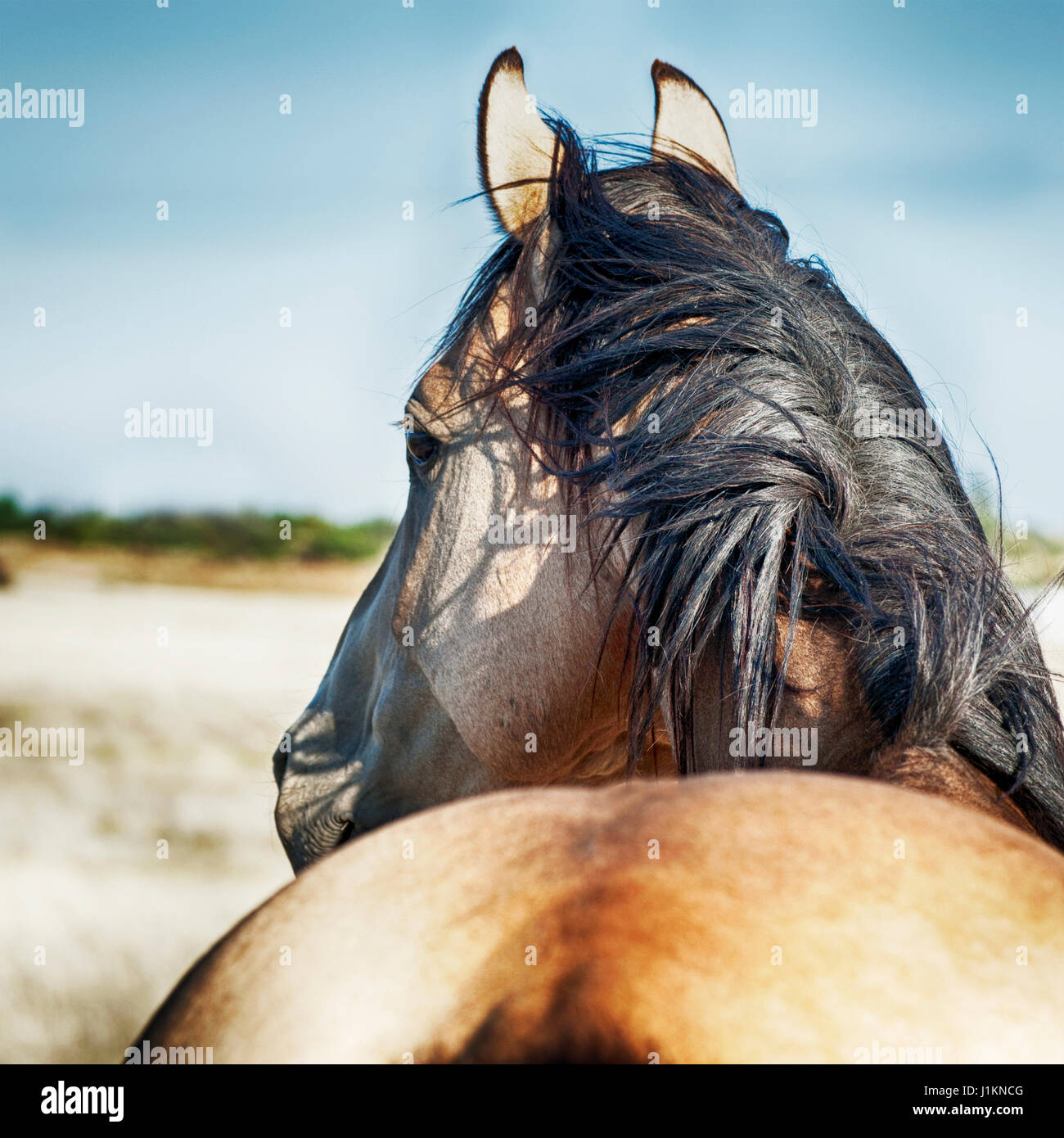 Portrait of a Buckskin Stallion with blowing mane in pasture - Stock Image