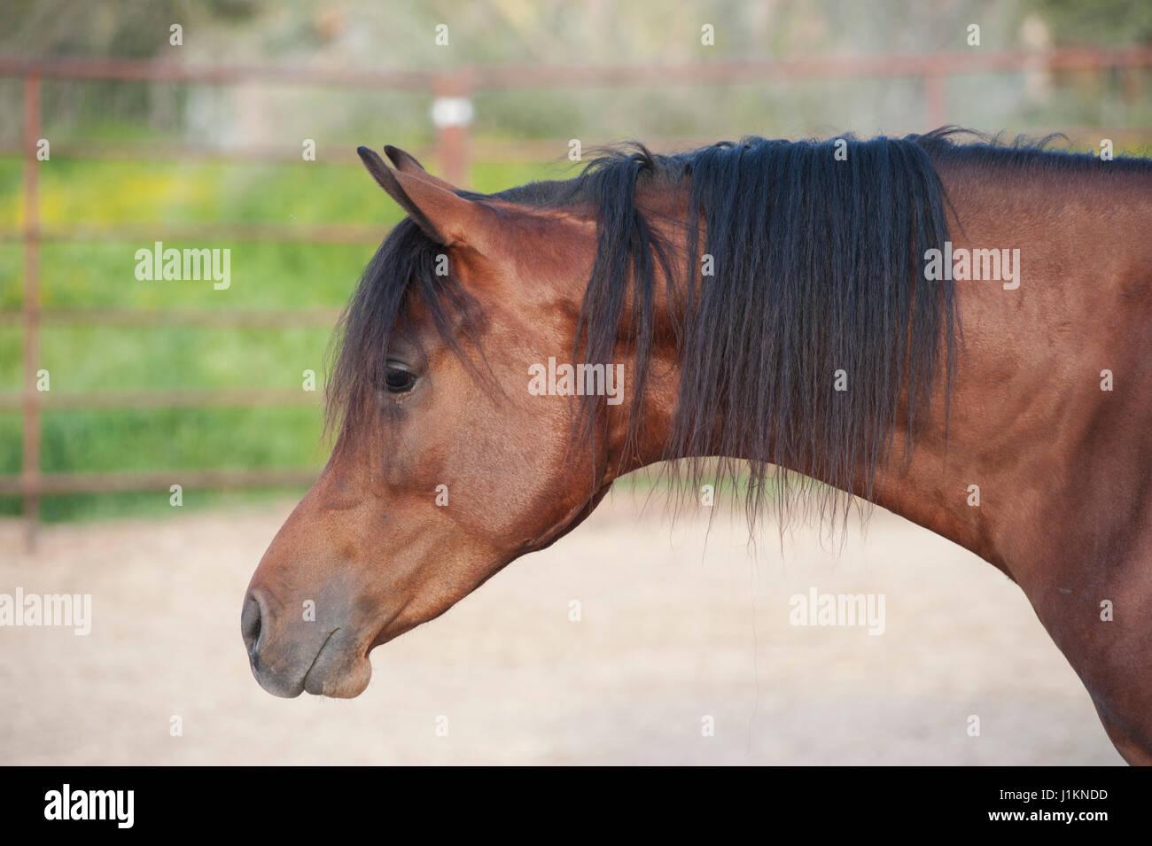 Arabian Bay Gelding Horse - Stock Image