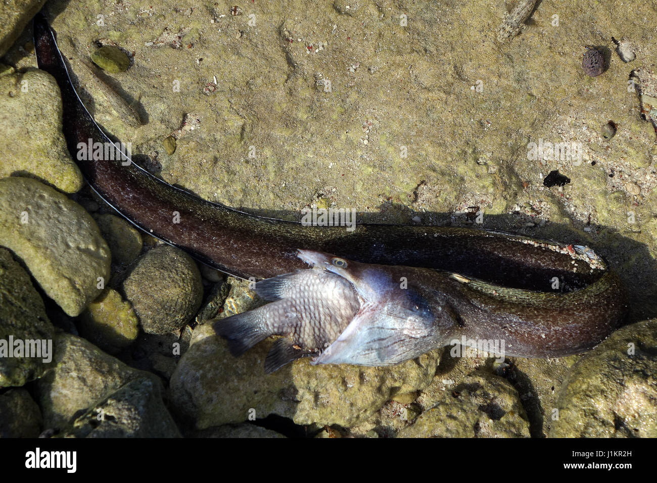 Moray eal captured a  big fish, both died. - Stock Image