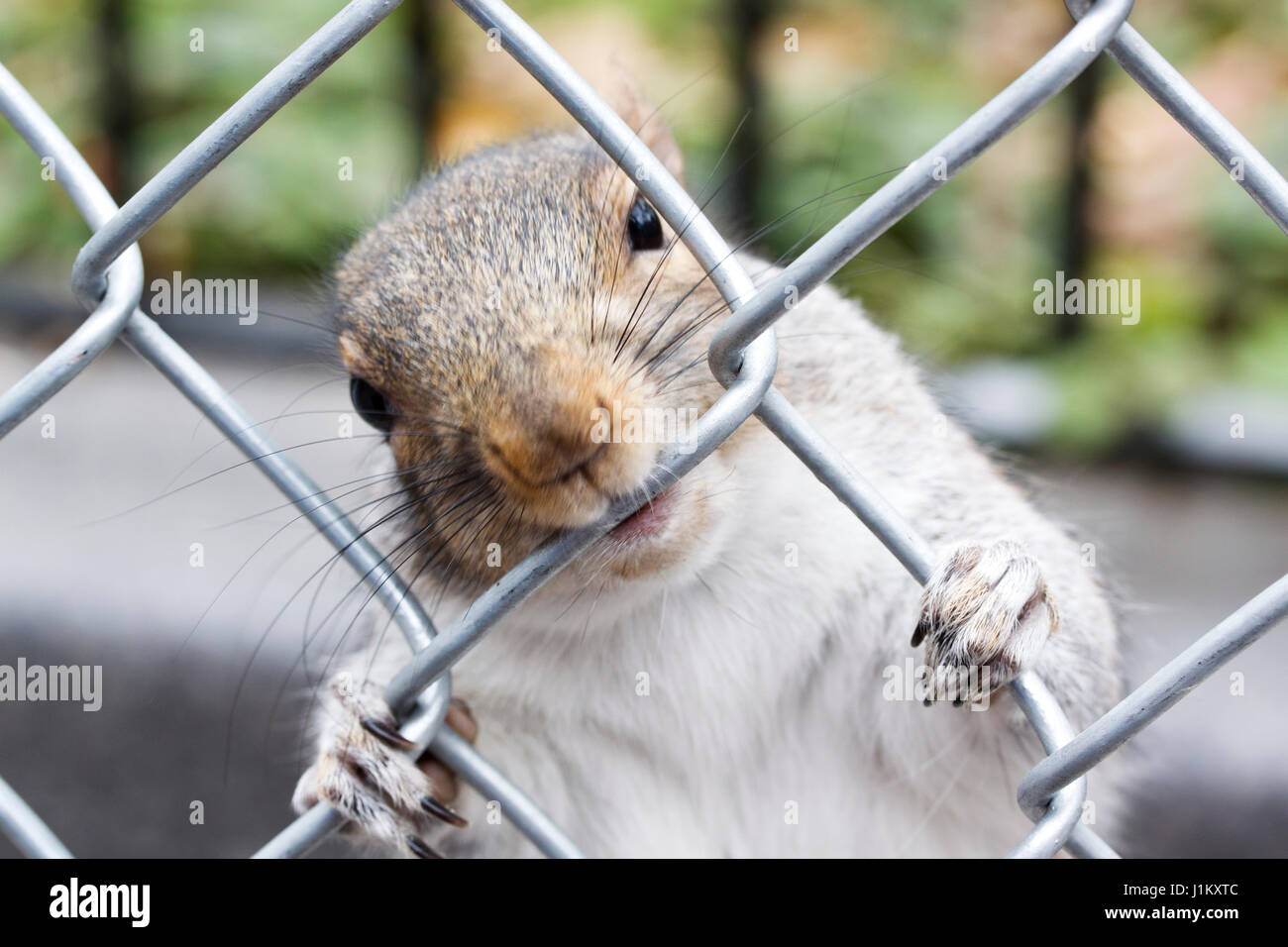 A comical squirrel holding onto and chewing a wire fence Stock Photo ...