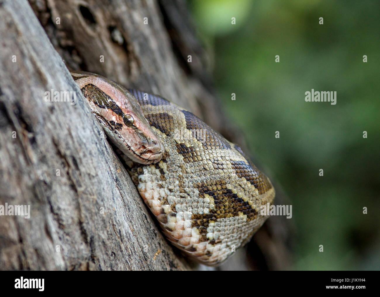 Baby Python(Python sebae),keoladeo national park,Bharatpur,India - Stock Image