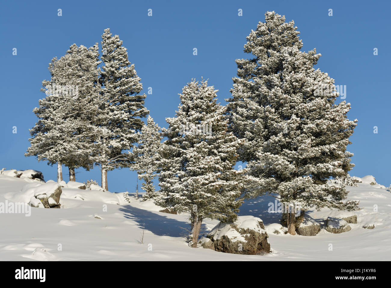 Snow covered conifer trees on a little hill under blue sky high up in the caldera of the Yellowstone area, Winter - Stock Image