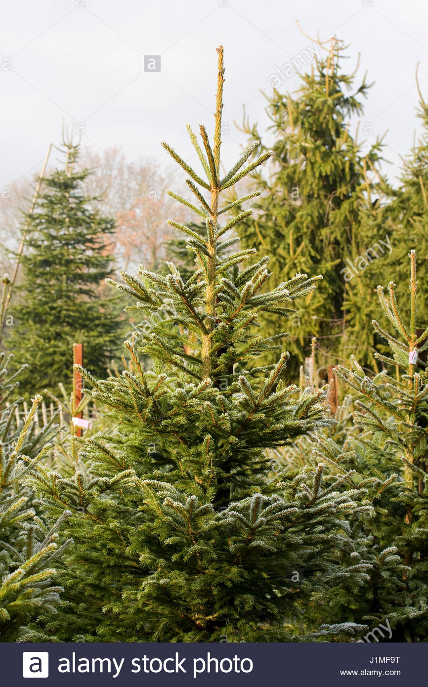 Picea Abies Norway Spruce The Christmas Tree Farm Hawkwell Stock ...