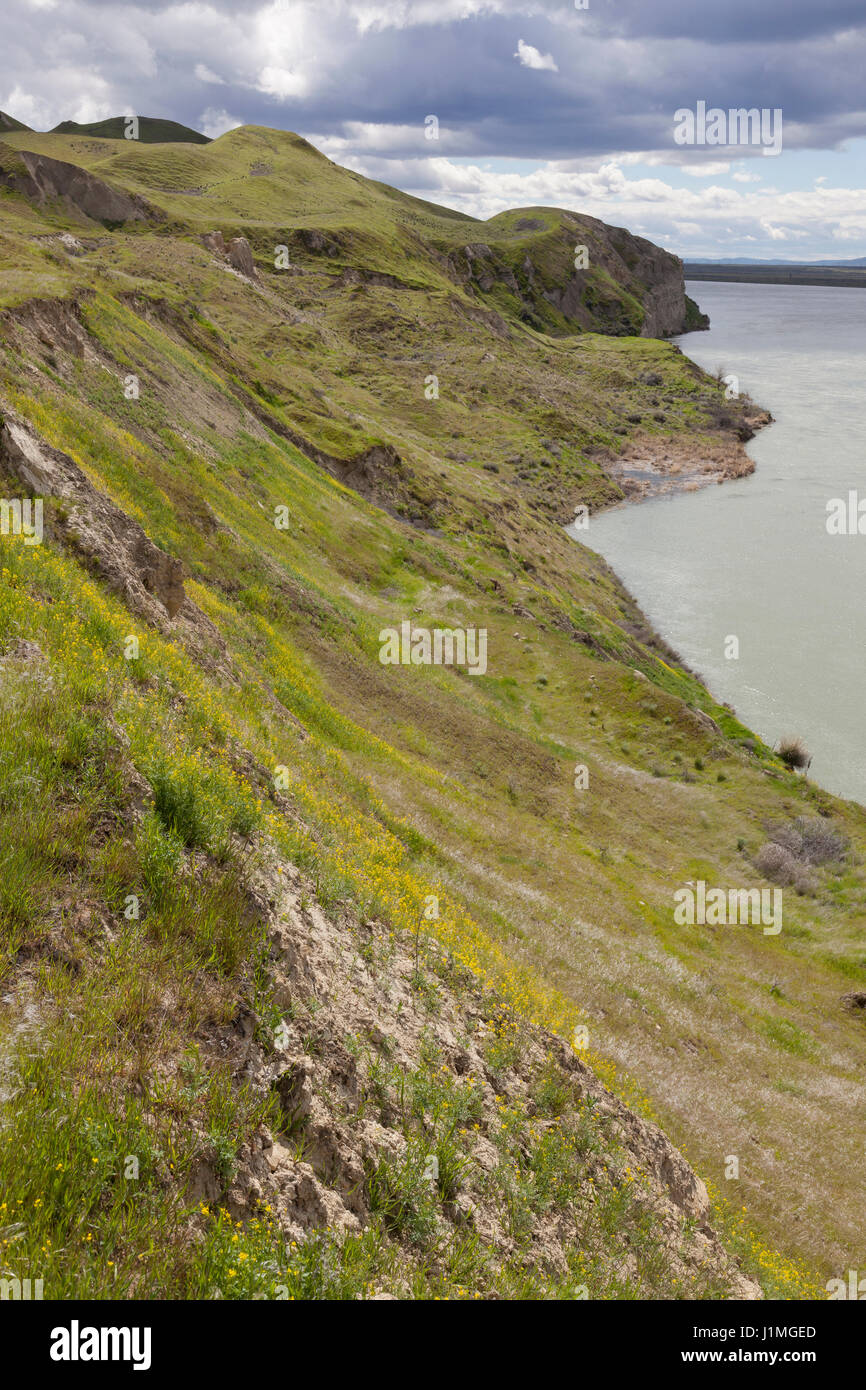 Franklin County, Washington: Spring wildflowers on the White Bluffs along the Columbia River at Hanford Reach National - Stock Image