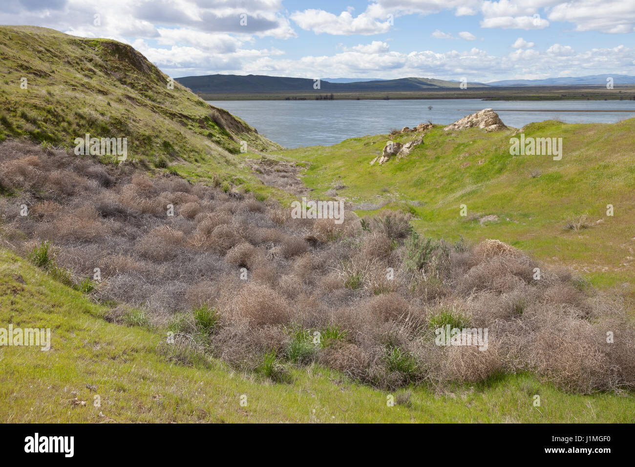Franklin County, Washington: Tumbleweeds gathered along the Columbia River at the White Bluffs in Hanford Reach - Stock Image