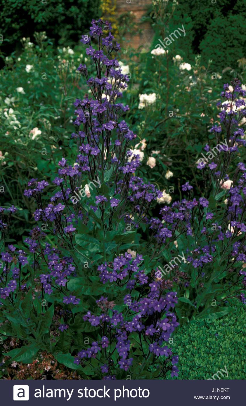 Anchusa azurea perennials blue flowers late spring early summer anchusa azurea perennials blue flowers late spring early summer mightylinksfo