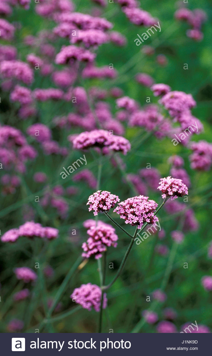 Verbena Bonariensis Pink Tiny Flowers On Long Stems Stock Photo