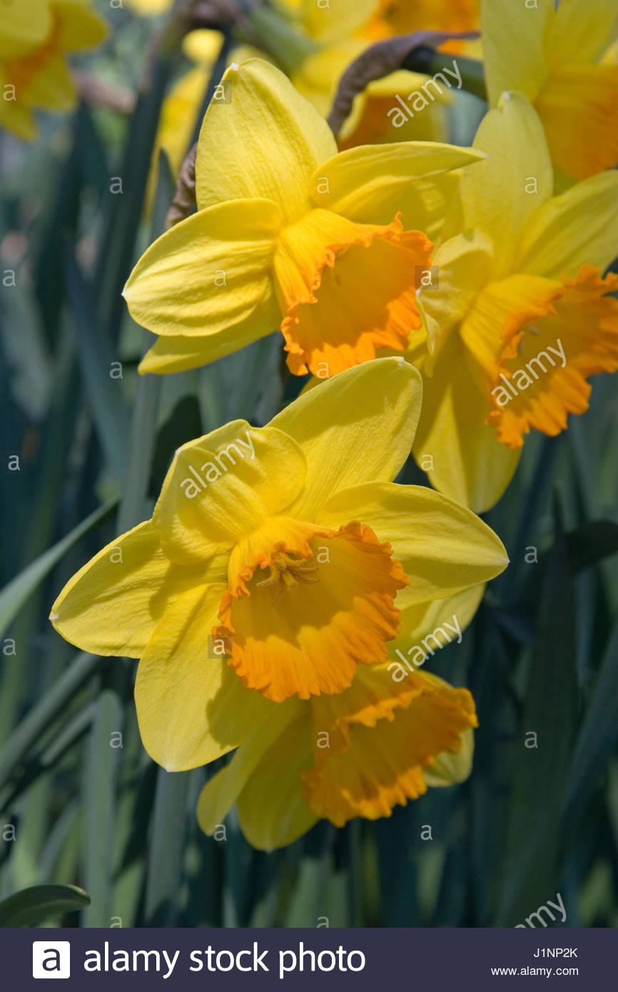 Flower song stock photos flower song stock images alamy narcissus flower song stock image mightylinksfo