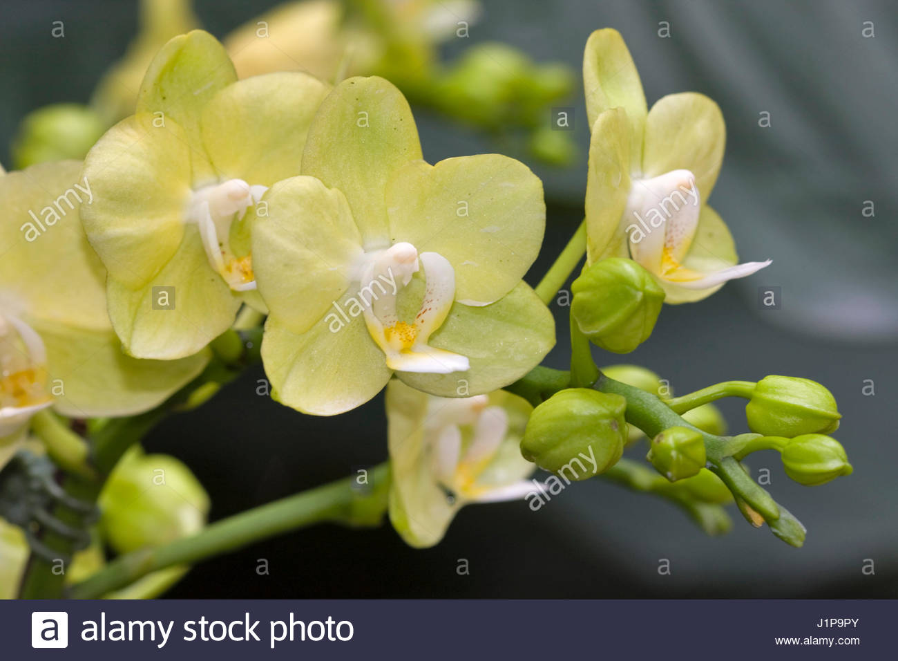 pale yellow green phalaenopsis orchids stock photo 138788243 alamy