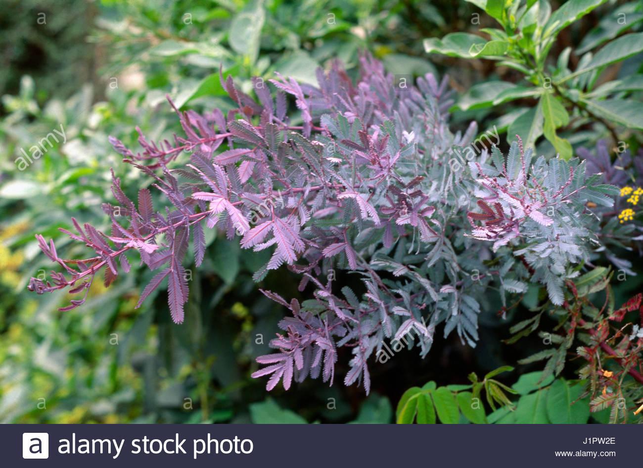 Acacia baileyana purpurea picture mature