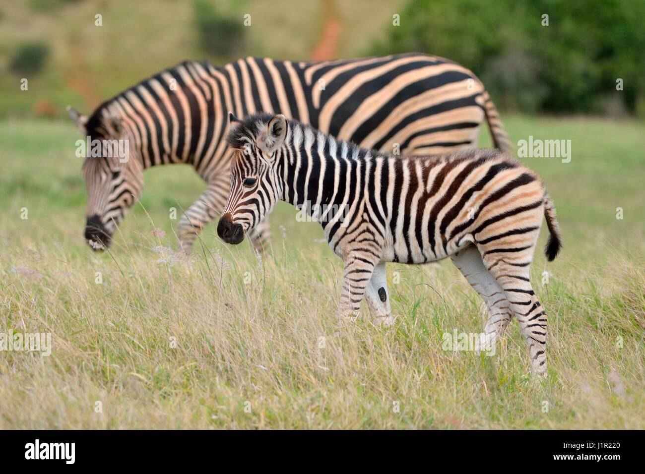 Burchell's zebras (Equus quagga burchellii), foal walking on grass, Addo National Park, Eastern Cape, South - Stock Image