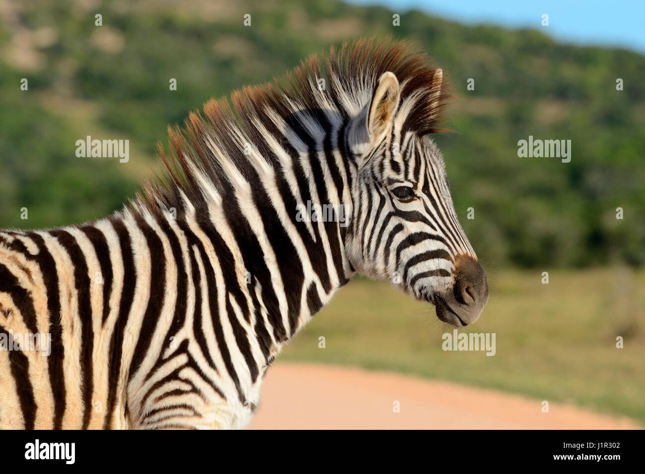 Young Burchell's zebra (Equus quagga burchellii), on grassland, Addo Elephant National Park, Eastern Cape, South - Stock Image
