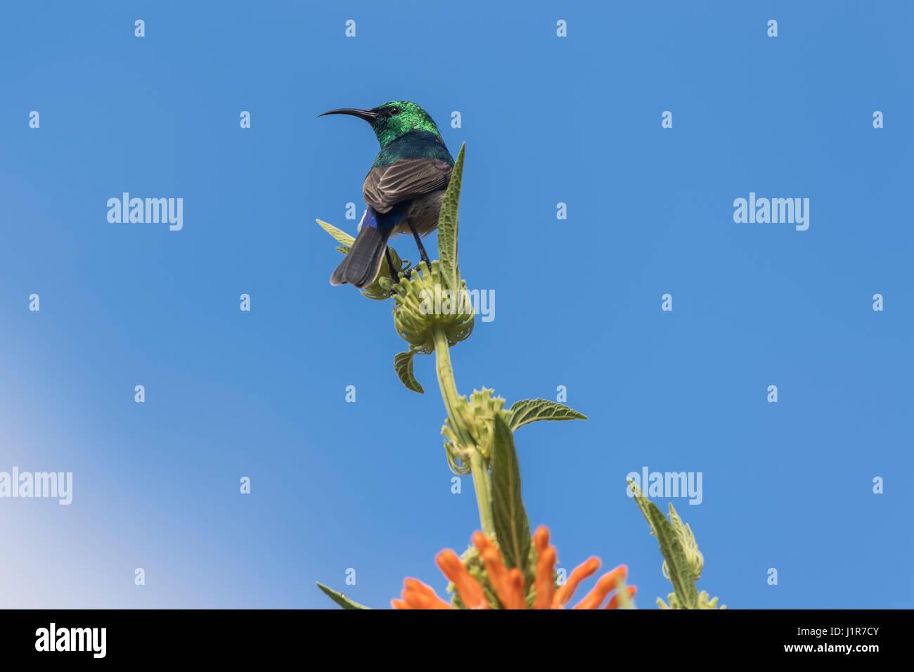 Southern Double-collared Sunbird (Cinnyris chalybeus), sitting on plant, Kirstenbosch National Botanical Garden, - Stock Image
