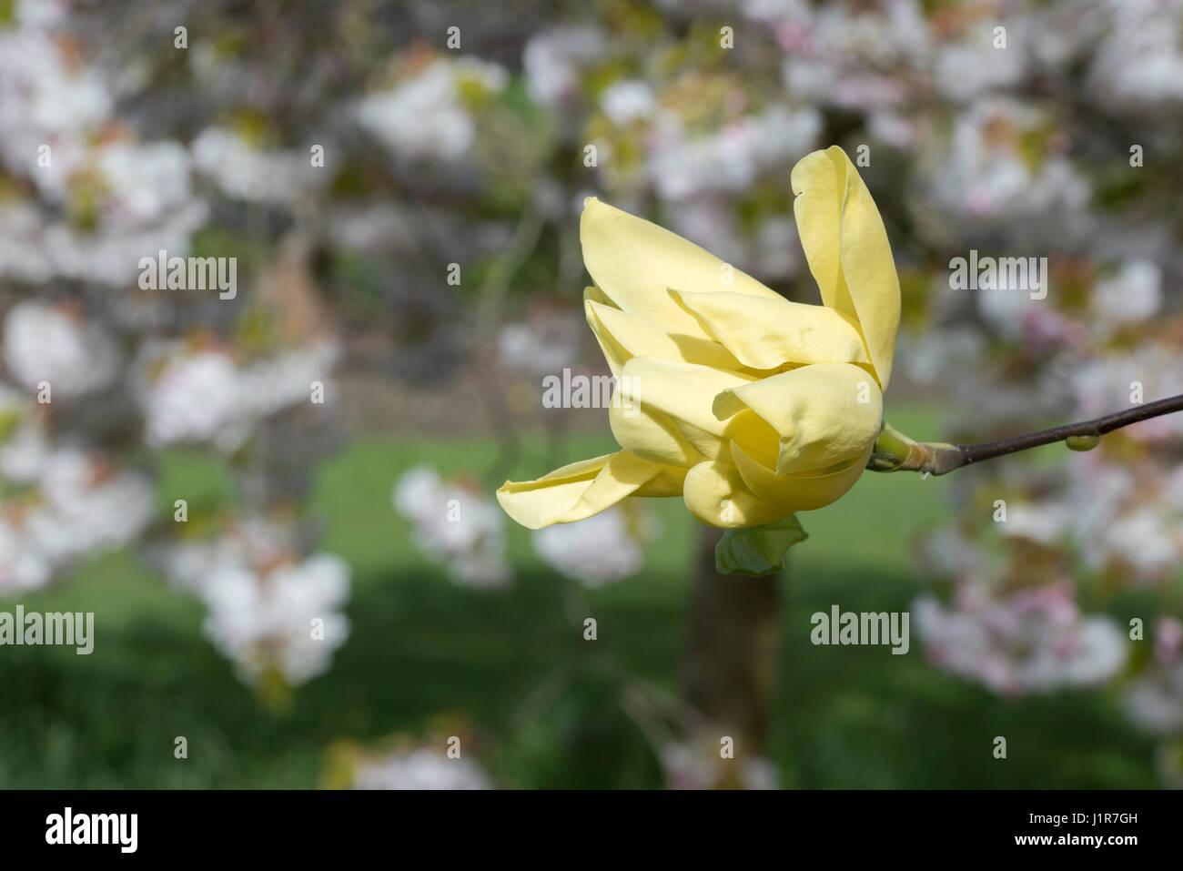 Magnolia acuminata honey liz flower in april yellow flowering magnolia acuminata honey liz flower in april yellow flowering magnolias mightylinksfo Gallery
