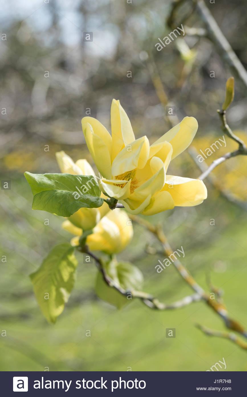 Magnolia acuminata honey liz flowers in april yellow flowering magnolia acuminata honey liz flowers in april yellow flowering magnolias mightylinksfo