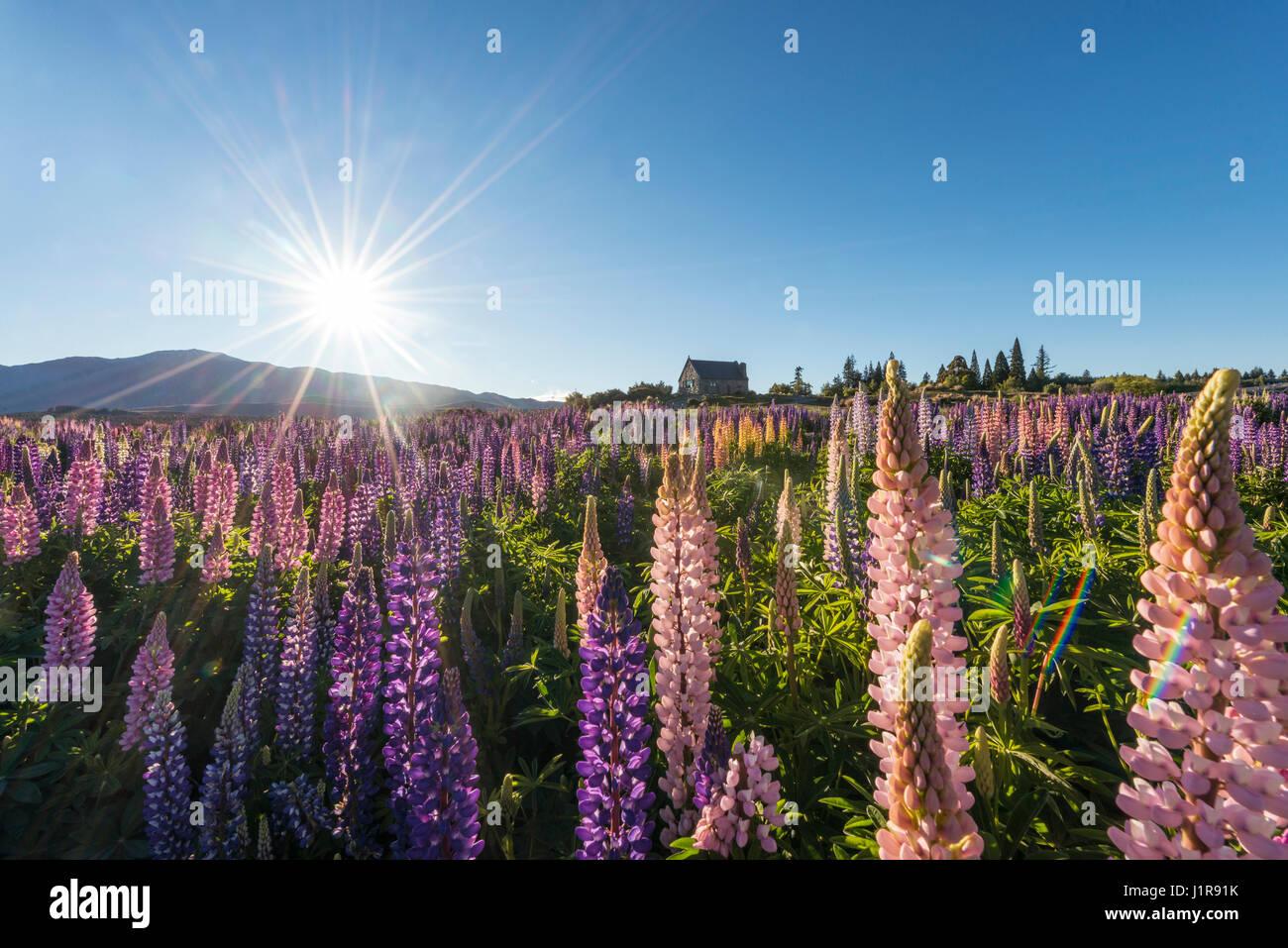 Sun shining through purple Large-leaved lupines (Lupinus polyphyllus), sunstern, Church of the Good Shepherd, Lake - Stock Image