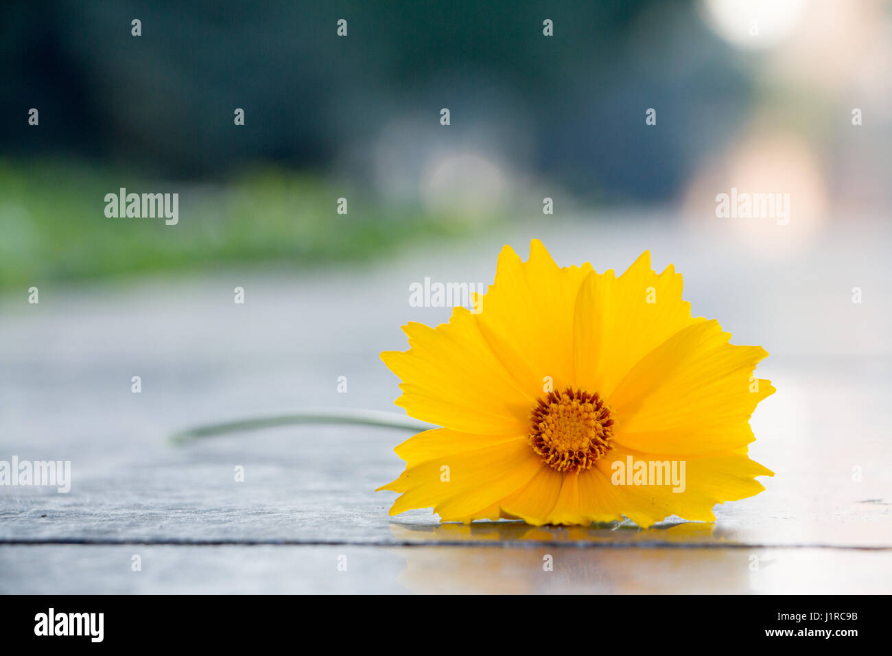 Beautiful yellow flower called cosmos sulphureus lies on a polished beautiful yellow flower called cosmos sulphureus lies on a polished granite slab mightylinksfo
