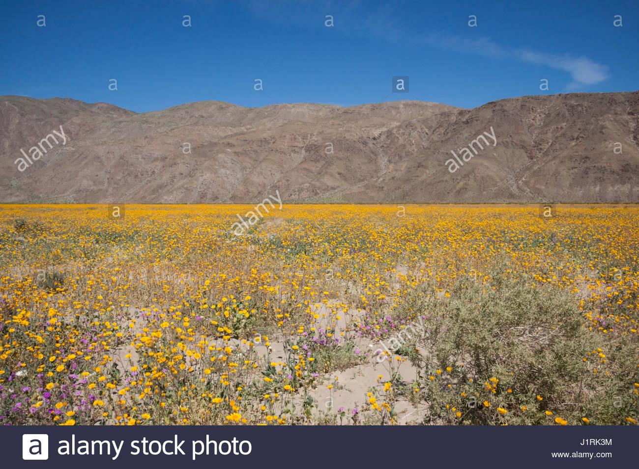 2017 Wildflower Superbloom at Henderson Canyon, Anza Borrego Desert State Park, California - Stock Image