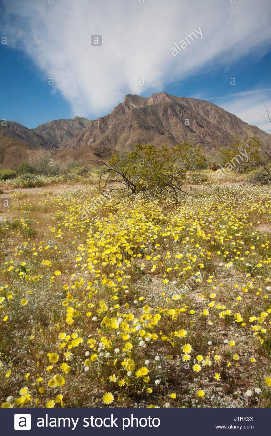 2017 Wildflower Superbloom, Anza Borrego State Park, California - Stock Image