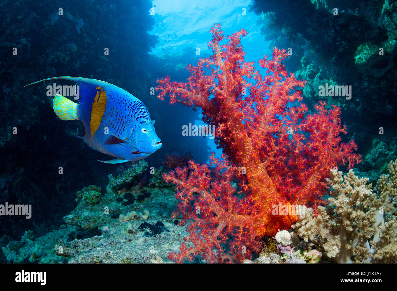 Coral reef scenery with a Yellowbar angelfish [Pomacanthus maculosus] swimming past soft corals.  Egypt, Red Sea. - Stock Image