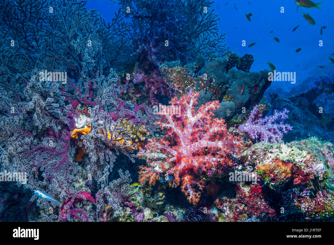 Soft corals [Dendronephthya sp.] and gorgonians.  Similan Islands, Andaman Sea, Thailand. - Stock Image