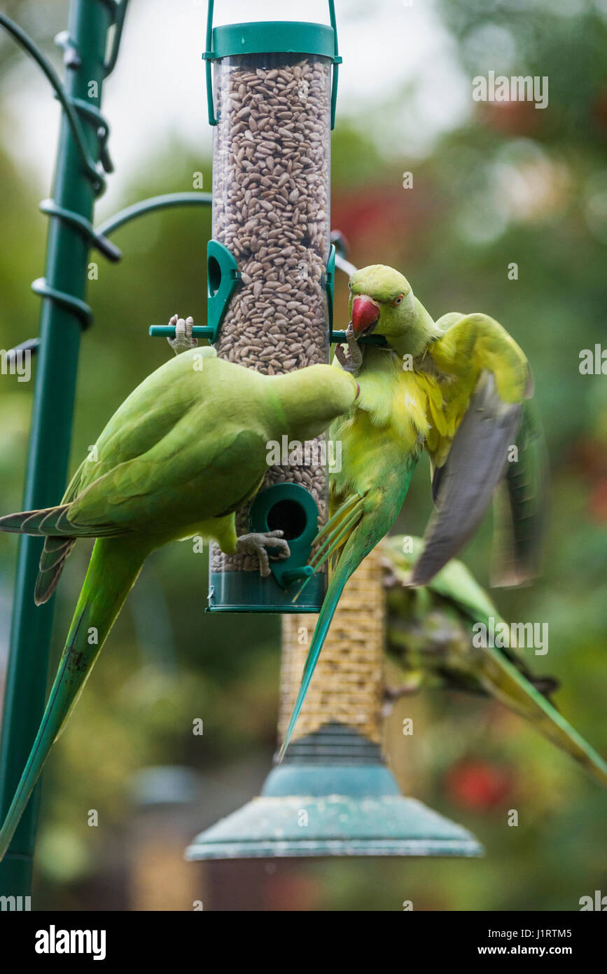 Rose-ringed or ring-necked parakeets (Psittacula krameri) on bird feeders in urban garden.  London, UK. Stock Photo