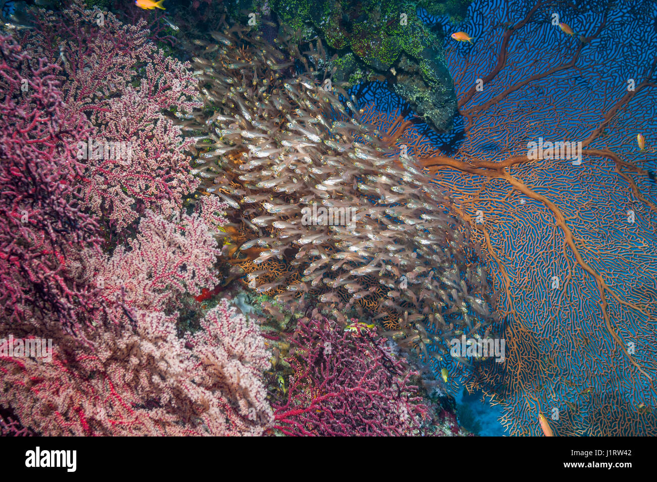 Pygmy sweepers [Parapriacanthus ransonetti] with gorgonian corals.  Similan Islands, Andaman Sea, Thailand. - Stock Image