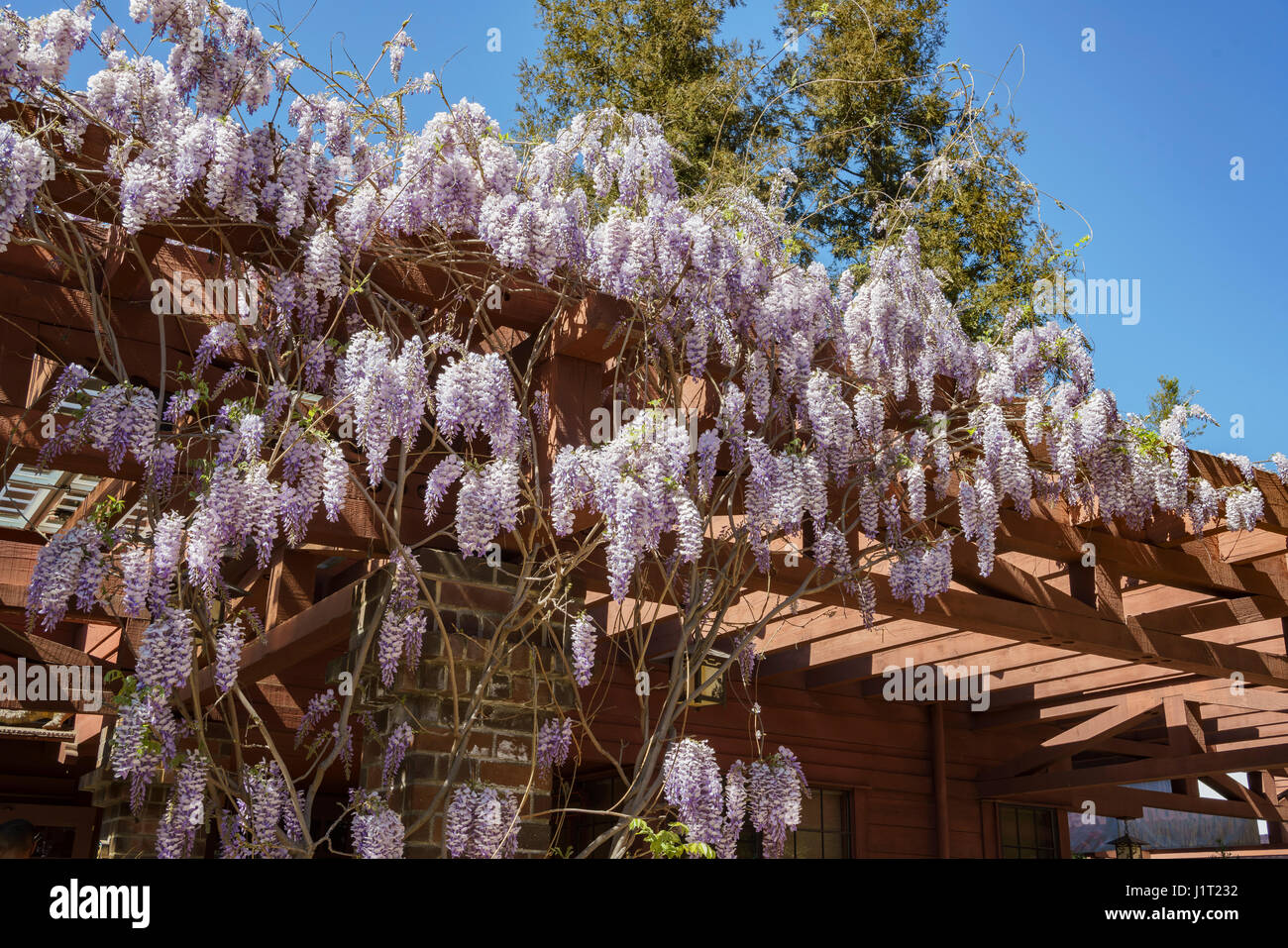 Beautiful Wisteria blossom at Descanso Garden of Los Angeles Stock ...