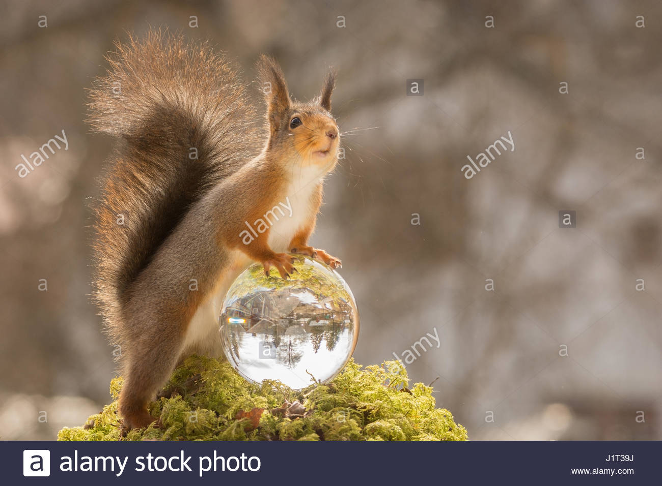 red squirrel holding on to a crystal ball looking up - Stock Image