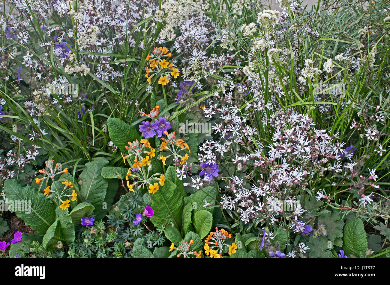 Close up of a flower border with Primula and white flowers - Stock Image
