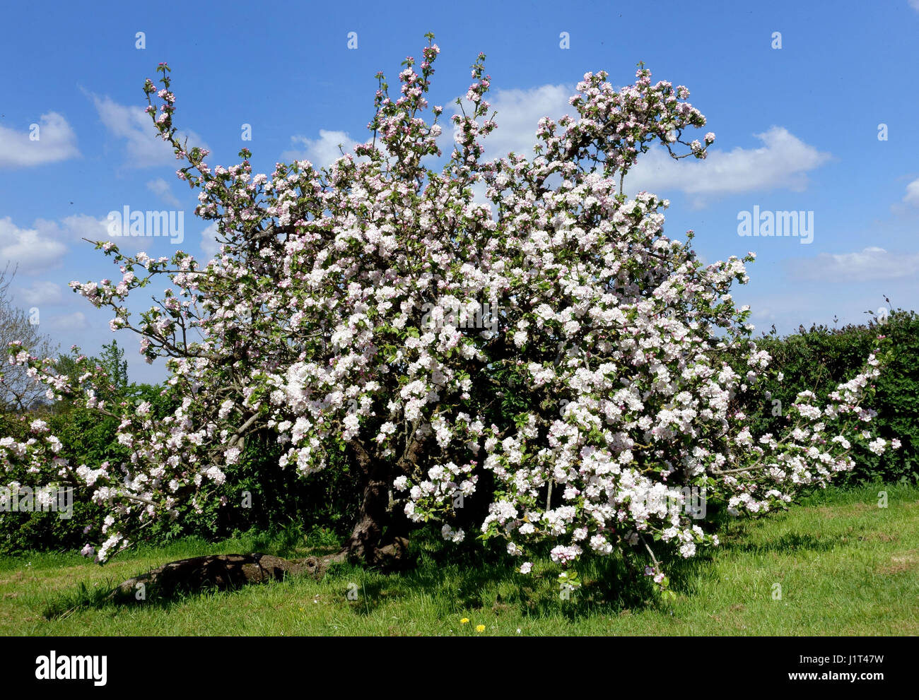Tom Putt apple tree blossom in a country garden orchard, Somerset, England - Stock Image