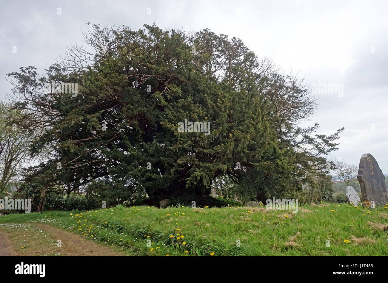 The Ashbrittle Yew in Ashbrittle, Somerset is thought to be over 3,000 years old - Stock Image