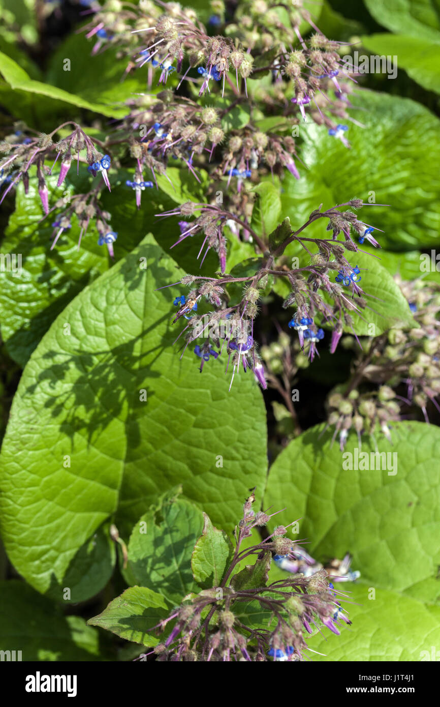 Trachystemon orientalis, commonly known as Abraham-Isaac-Jacob - Stock Image