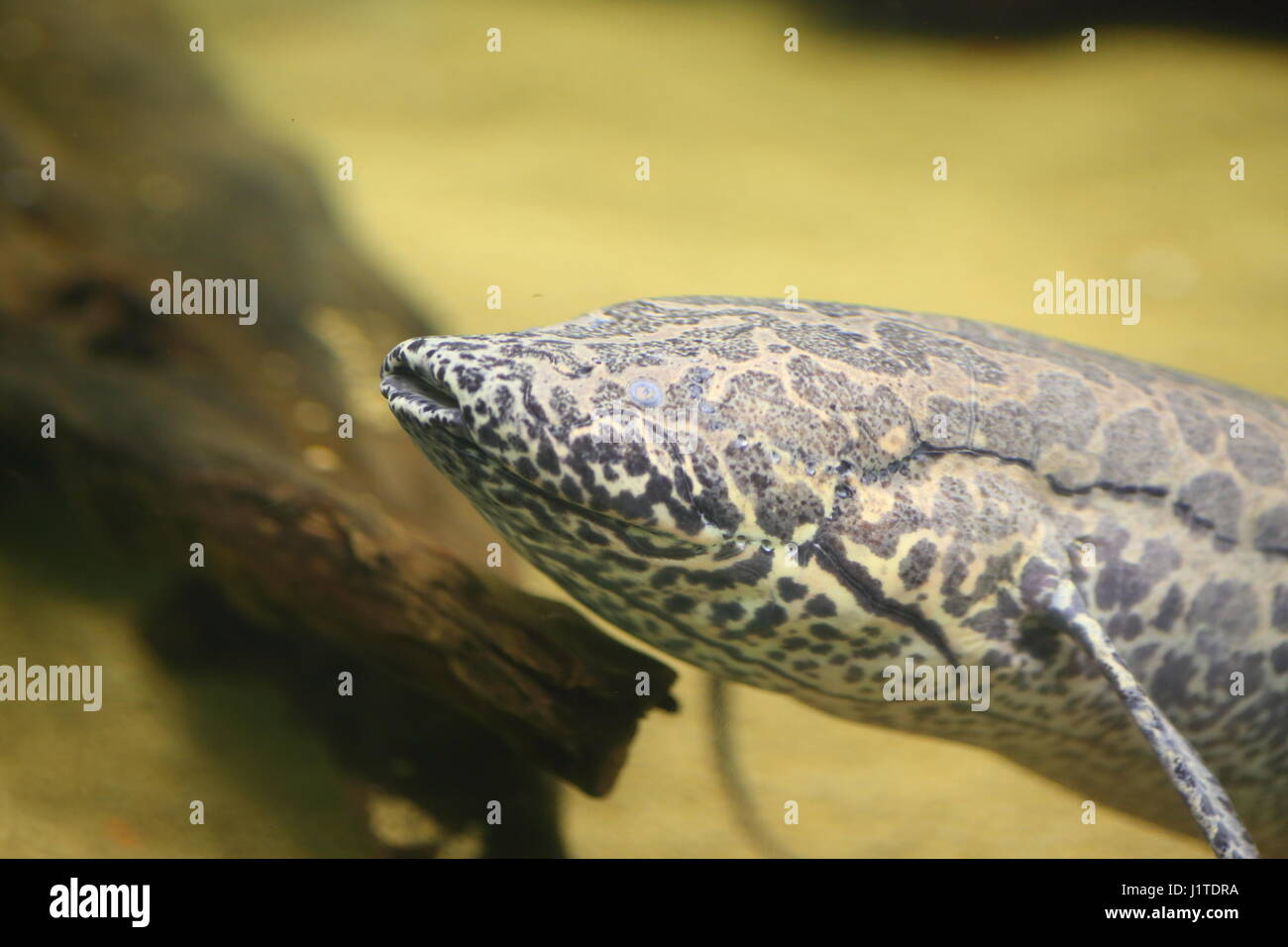 African Lungfish (Protopterus aethiopicus) in Africa - Stock Image