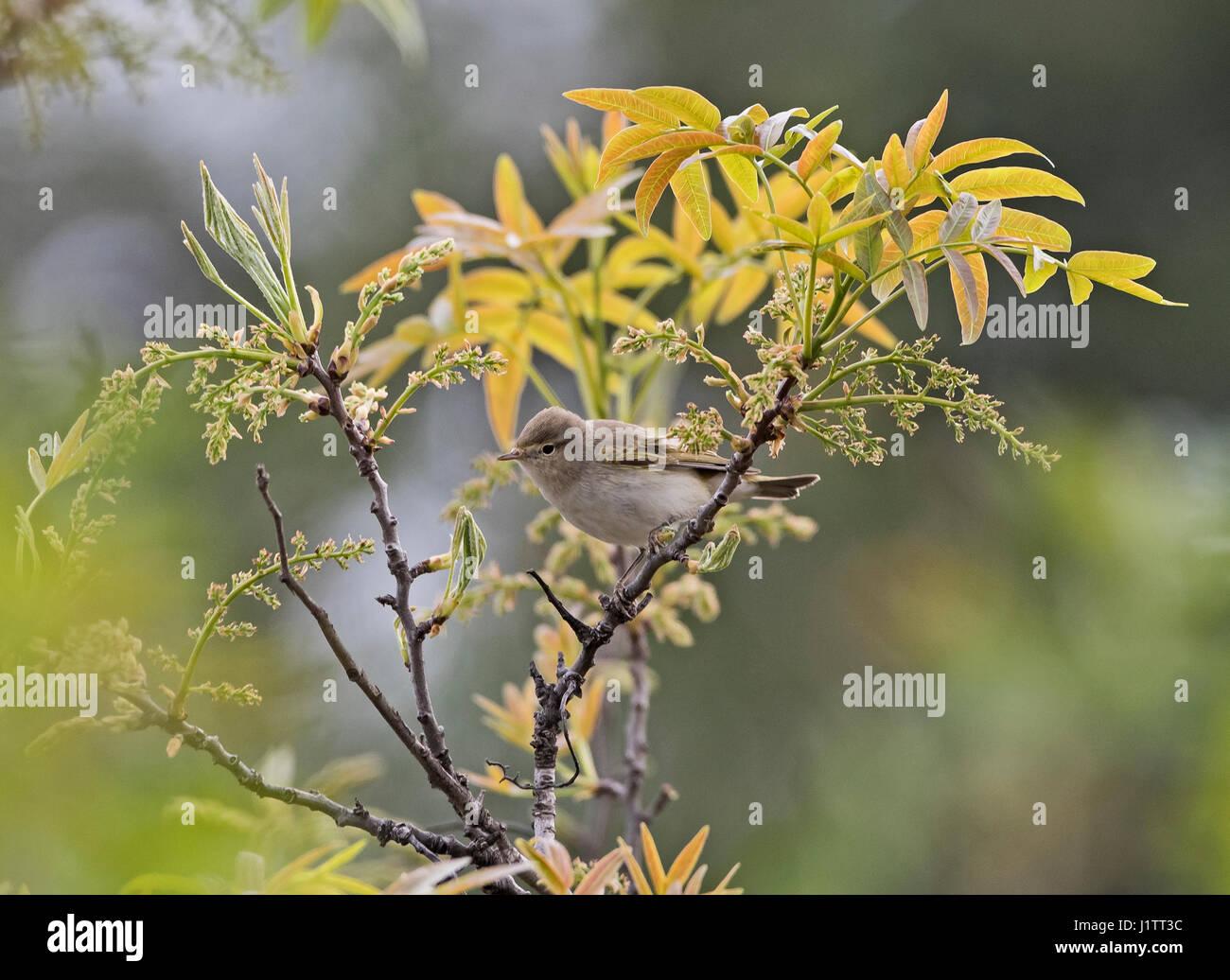 Eastern Bonellis Warbler Phylloscopus orientalis also callaedBalkan Warbler in Spring Cyprus Stock Photo