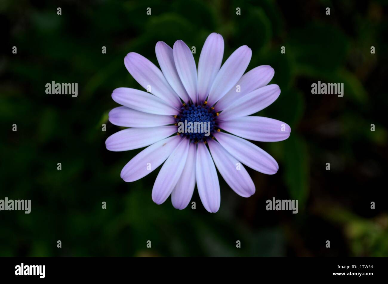 Light Purple Daisy Flower In Afternoon Shadow Stock Photo 138844192