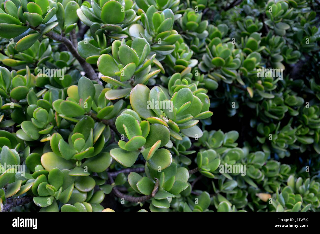 Close up of succulent green jade plant lucky - Stock Image