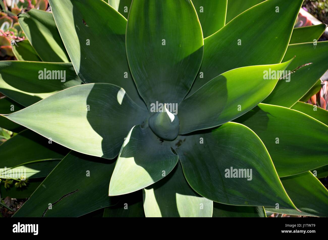 Agave plant in detail rosette of leaves - Stock Image