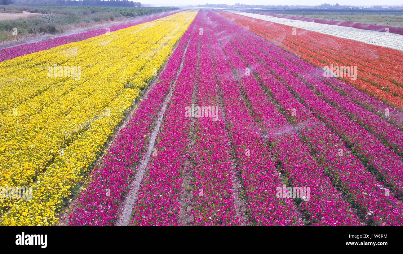 Aerial Pink Flower Field Stock Photos Aerial Pink Flower Field