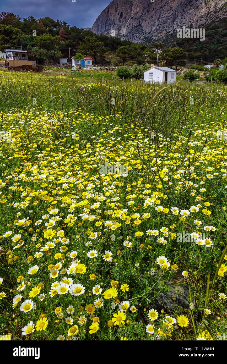 Field Of Yellow And White Flowers Daisy Telendos Kalymnos Greece