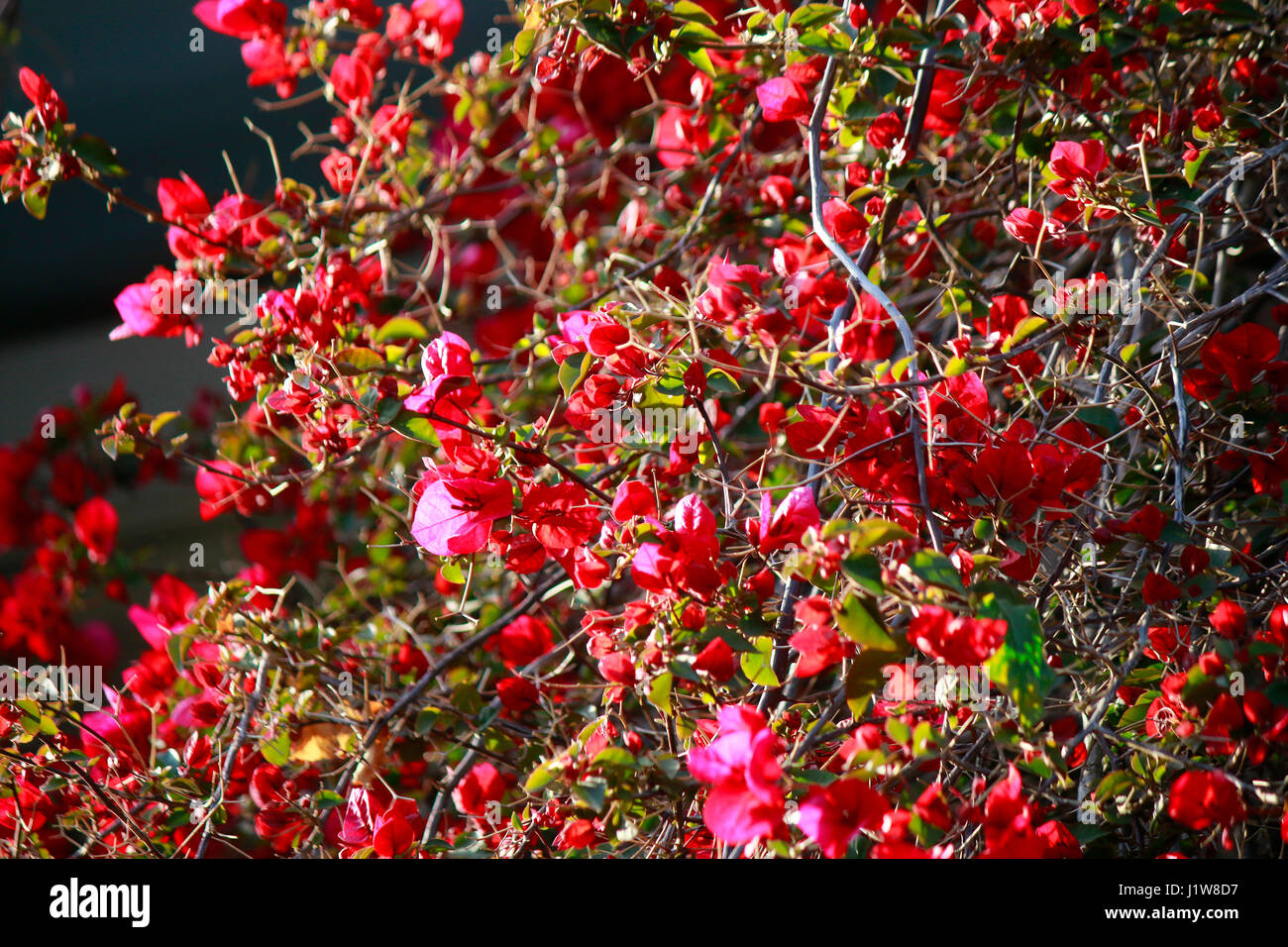 Bougainvillea, Bougainville, Bougainvillee, Bougainvillie, Athen, Griechenland. Stock Photo