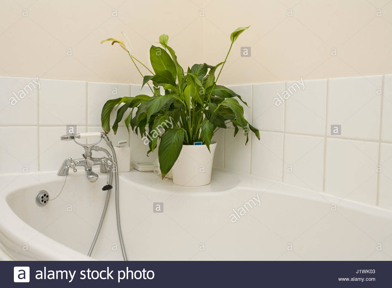 Peace Lily In Bathroom. A Shade Tolerant Spathiphyllum Peace Lily Growing In A Bathroom