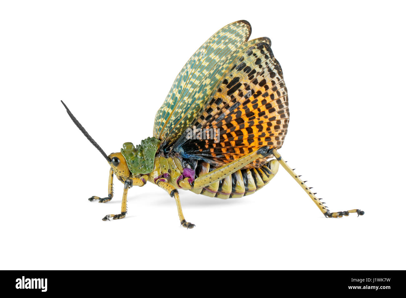 Milkweed locust (Phymateus spp.) with open wings on white, South Africa - Stock Image