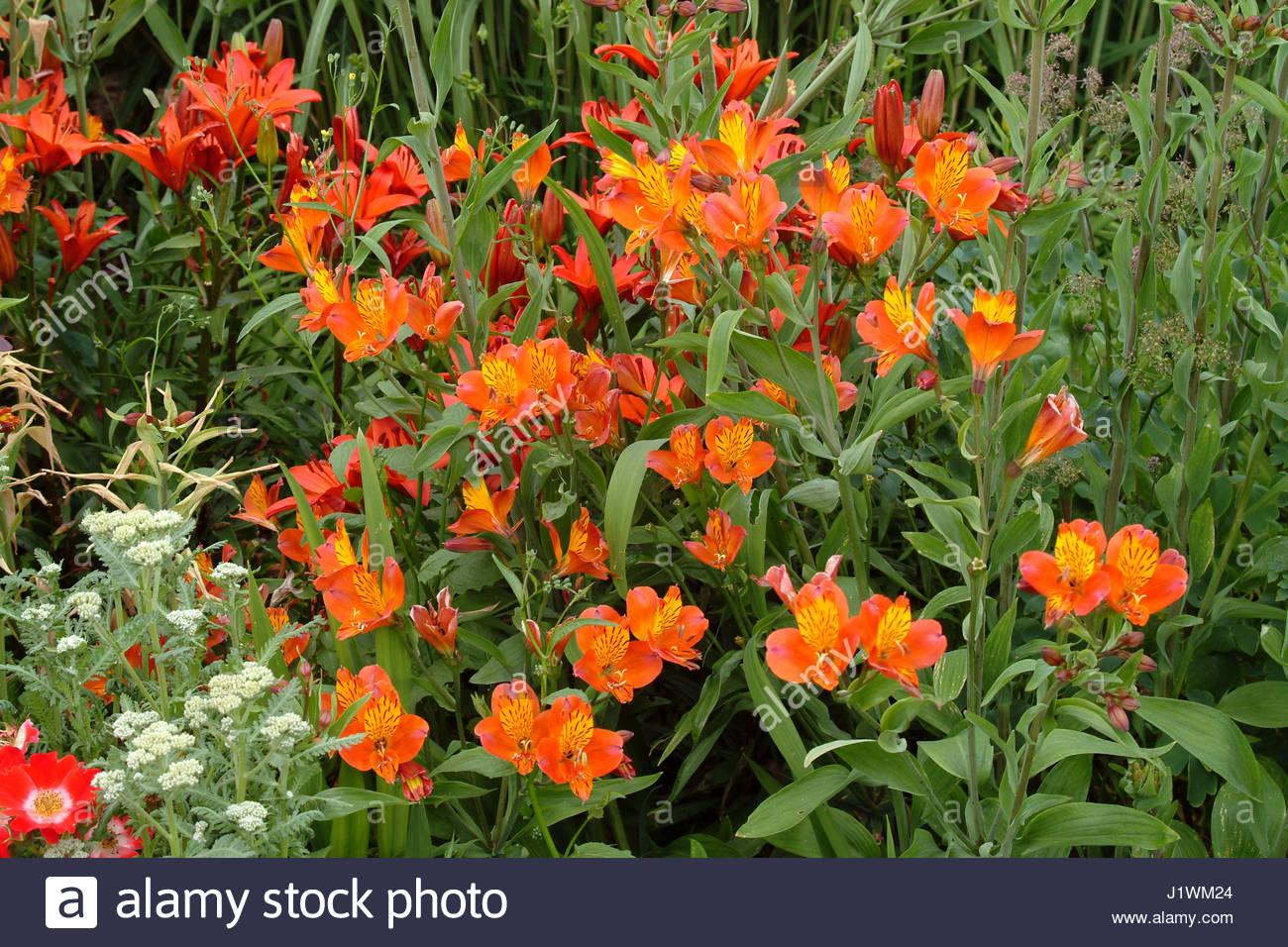 Alstroemeria orange glory peruvian lily stock photo 138862140 alamy alstroemeria orange glory peruvian lily izmirmasajfo